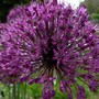 Allium 'Purple Sensation' (Allium aflatunense)