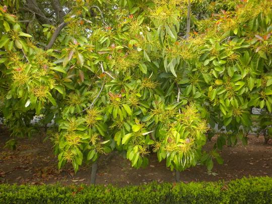 Persea americana - Avocado Tree (Persea americana - Avocado Tree)