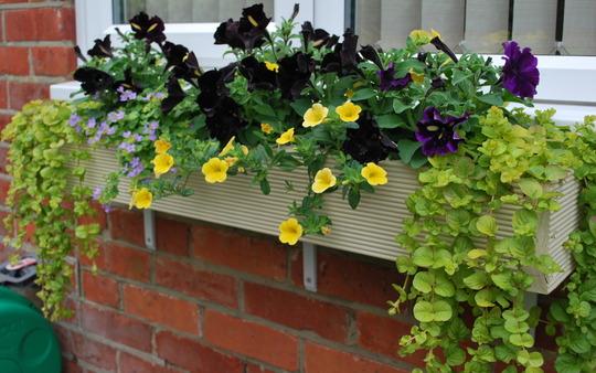 Window Box with Black Velvet Petunias. (petunias)