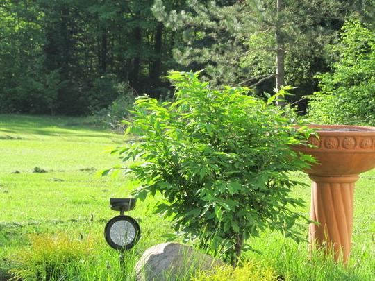 Burning Bush (Euonymous alata)