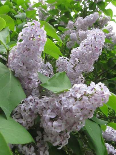 Lilacs....ever lovely