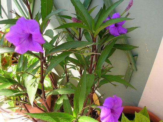 Ruellia brittoniana (Mexican Petunia)