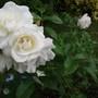 Rose_margaret_merril_floribunda