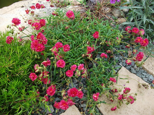 Helianthemum Fireball (HELIANTHEMUM - Fireball)