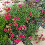 Helianthemum_fireball