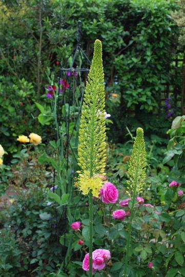 Eremurus....  (Eremurus stenophyllus (Foxtail lily))