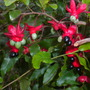 Ochna serrulata - Mickey Mouse Plant (Ochna serrulata - Mickey Mouse Plant)