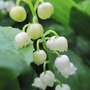 Kate&#x27;s favorite (Convallaria majalis (Lily of the valley))