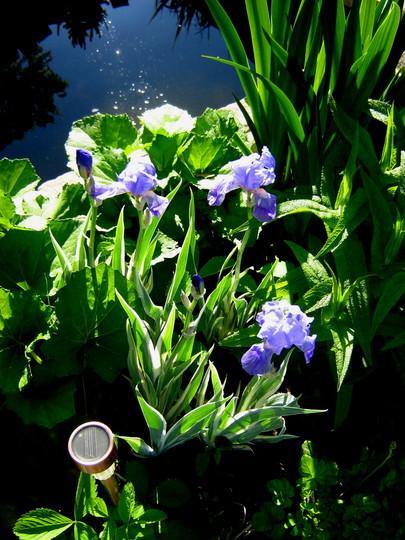 Iris (Iris pallida (Sweet Iris))