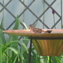 songbird in birdbath