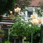 Standard rose (peace)