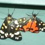 2 Tiger moths