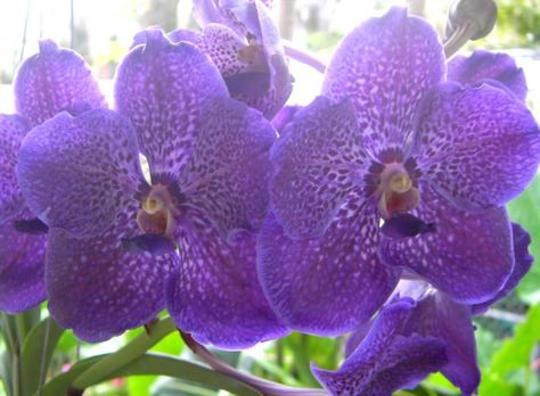 p350827 Davie FL Vanda orchid