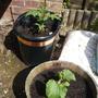 Tomato - Gardener's Delight