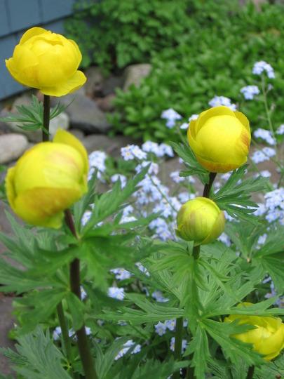 buttercups (Trollius europaeus (Boule dor))