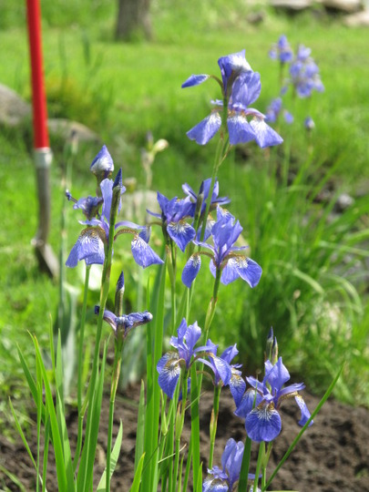 Iris Sibirica  Blue Flag