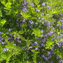 Duranta erecta - Skyberry, Pigeon Berry (Duranta erecta - Skyberry, Pigeon Berry)