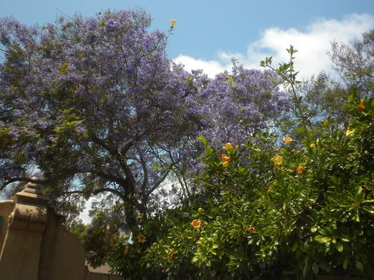 Solandra maxima - Cup of Gold Vine and Jacaranda mimosifolia - Jacaranda Tree (Solandra maxima - Cup of Gold Vine and Jacaranda mimosifolia - Jacaranda Tree)