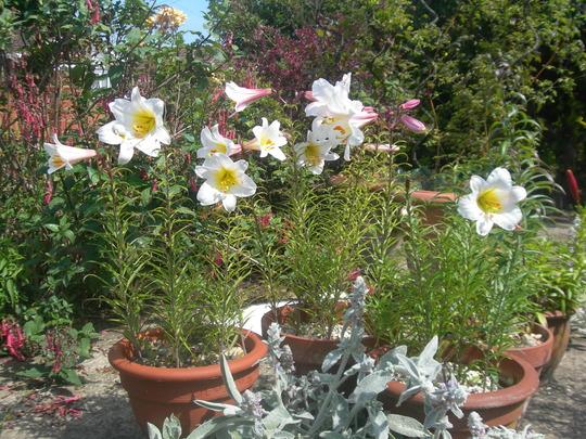 Regal lily (Lilium)