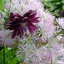 Thalictrum aquilegifolium (Thalictrum aquilegiifolium (Meadow Rue))