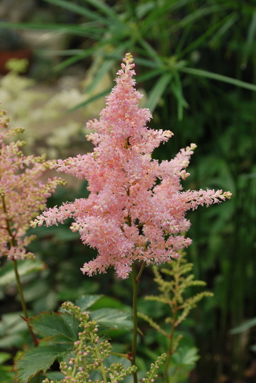 Astilbe Pink. (Astilibe chinensis pumila)