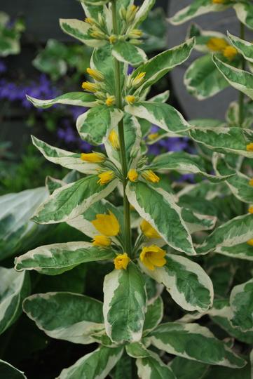 Lysimachia variegata. (Lysimachia punctata (Garden Loosestrife) variegata)