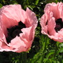 Lovely Poppies (Oriental Poppies?)