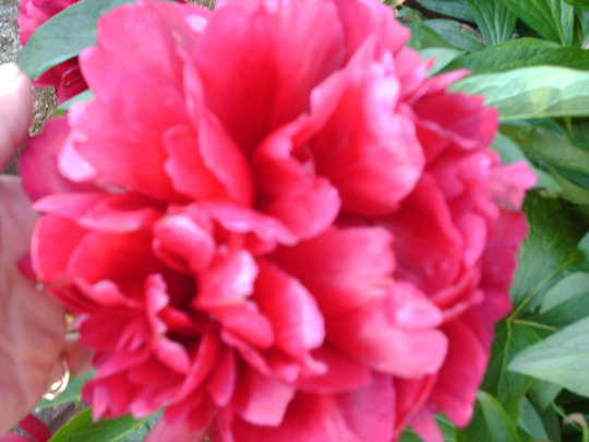 this is my peony