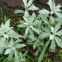 silver king (Artemisia albula)