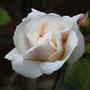 Rosa 'Sombreuil'  (Rosa)