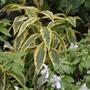 Phlox paniculata 'Becky Towe' (Phlox paniculata (Perennial phlox))