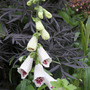 Digitalis purpurea 'Pams Choice'