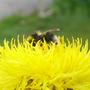 Centaurea macrocephala (Great Golden Knapweed)