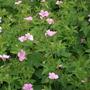 Geranium War grave pink (Geranium  x oxonianum)