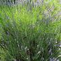 British Lavender