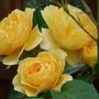 Graham Thomas - climbing rose (Rosa)
