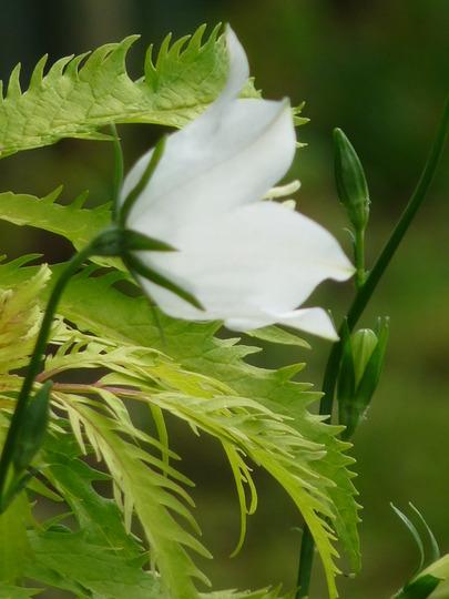 Campanula and Sambucus (Campanula persicifolia (Peach-leaved bellflower))