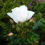 Rosa 'White Carpet'