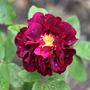 Rosa 'Tuscany Superb' (Rosa)