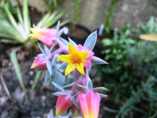 Flowers of Echeveria (echeveria)