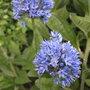 Allium_caeruleum_2011