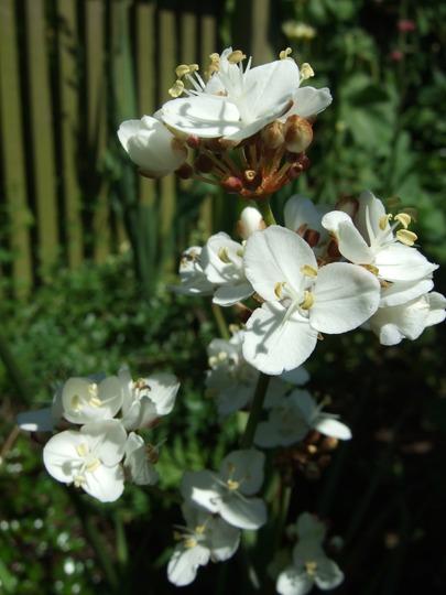 Libertia grandiflora (Libertia grandiflora)