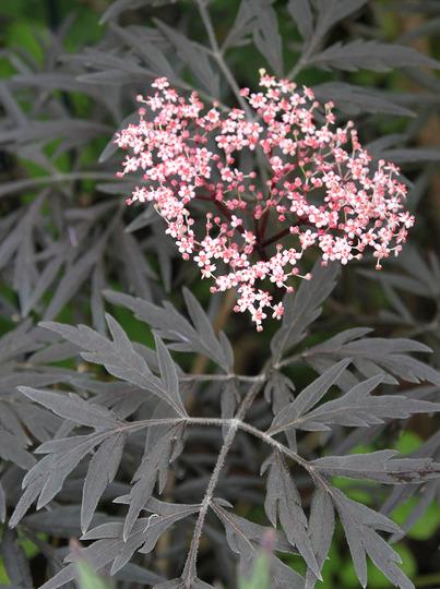 Sambucus nigra 'Black Lace' (Sambucus Nigra)