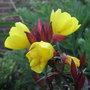 Oenothera fruticosa 'Fyrverken' - 2011 (Oenothera fruticosa)