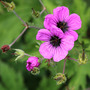 Geranium psilostemon (Geranium psilostemon (Armenian cranesbill))