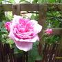 Ispahan rose