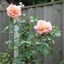 Climbing rose 'Compassion'