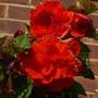 red begonia.