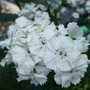 White_sweet_william