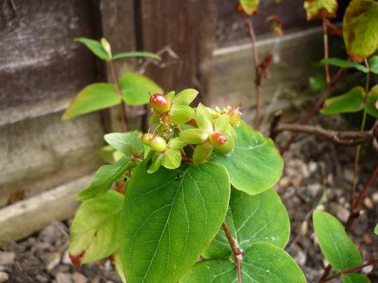 Hypericum buds